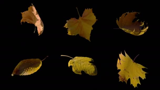 A Set of Spinning Autumn Yellow Leaves with Alpha