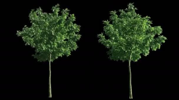 fouká vítr stromy, izolované s alfa 2