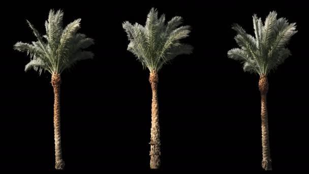 3 foukání větru krásné zelené plné velikosti skutečné tropické palmy