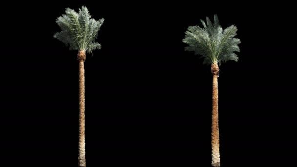 2 foukání větru krásné zelené plné velikosti skutečné tropické palmy