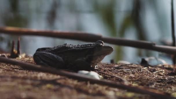 Nahaufnahme, Frosch sitzt am Flussufer und wärmt sich in den Strahlen der untergehenden Sonne