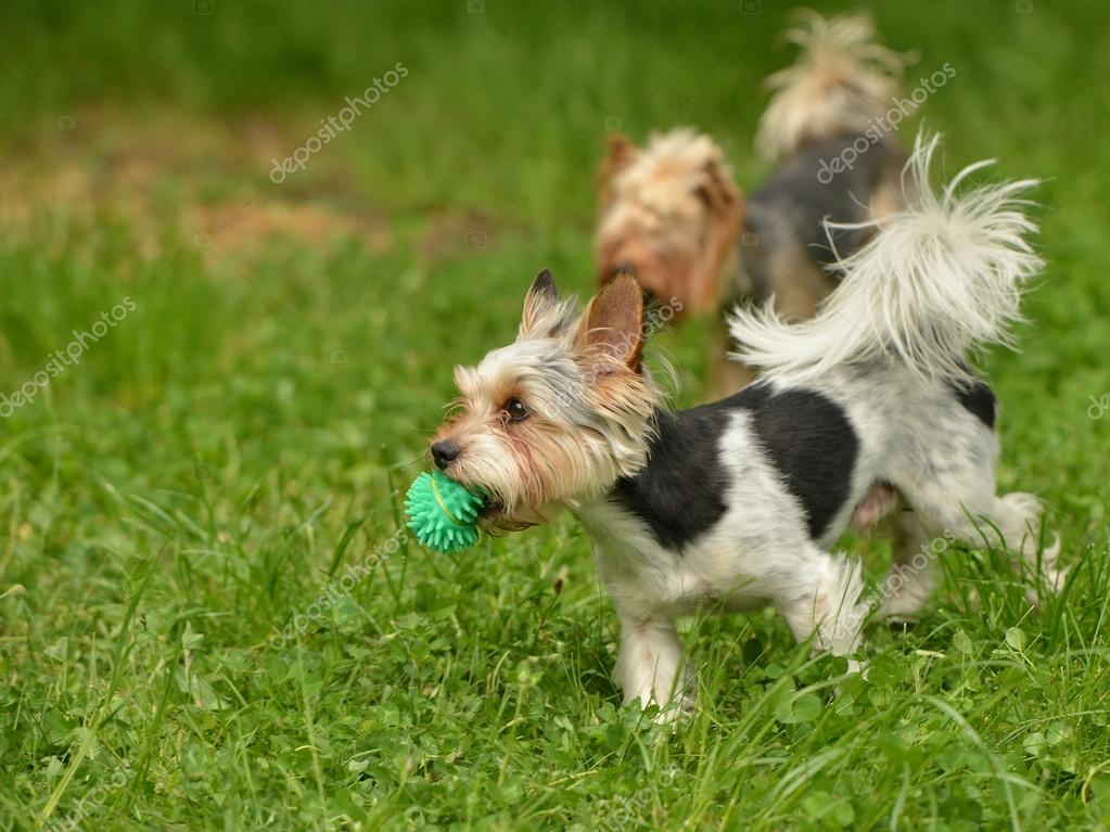 Biewer-Yorkshire terriers