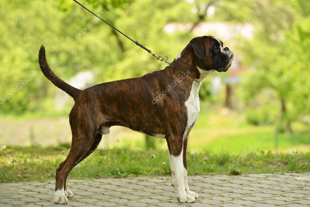 Boxer Hund Im Freien Stockfoto Muro 72538815