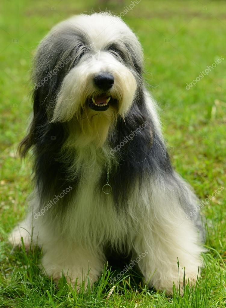 Old english sheepdog Bearded Collie at green grass outdoors