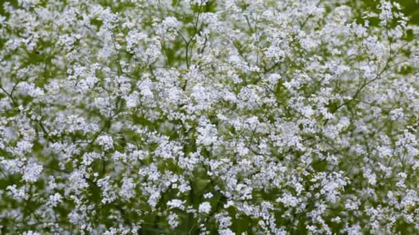 Shrub With Small White Flowers Stock Video Pishevroman 120375108