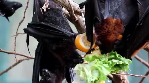 Flying Fox (Pteropus Vampyrus) Bat