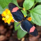 Červená pošťák motýl krmení
