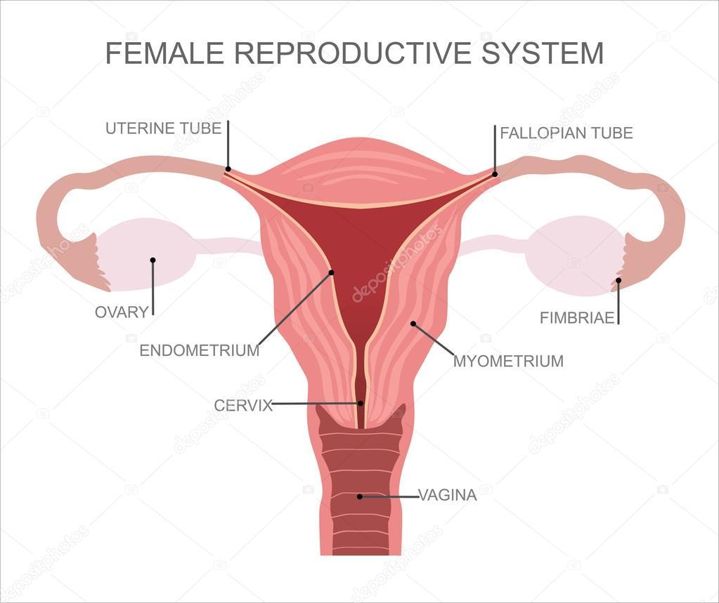 Organe des weiblichen Fortpflanzungsorgane — Stockvektor © mitay20 ...