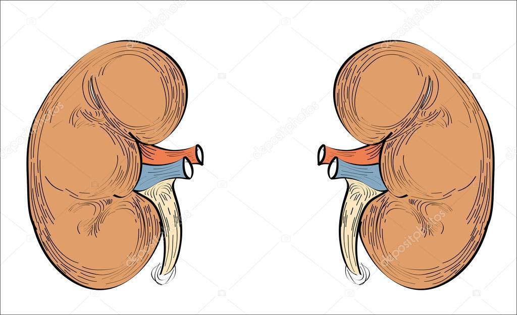 icono de los riñones los órganos humanos — Vector de stock © mitay20 ...