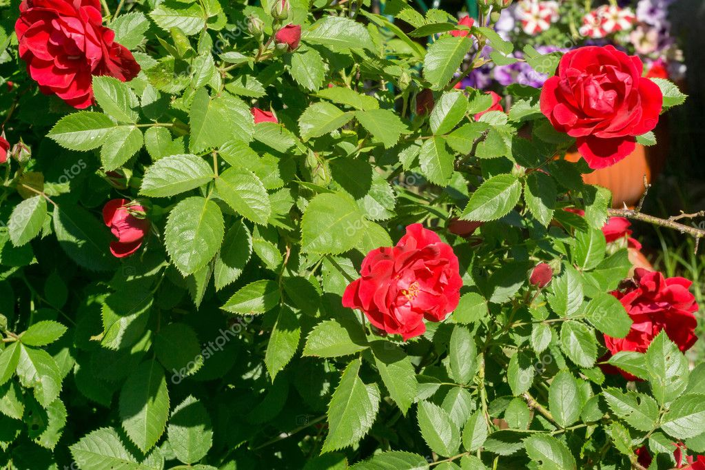 Red Climbing Rose Stock Photo C Artshock 108421342