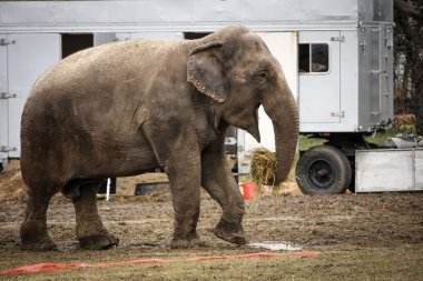 Circus elephant in backstage