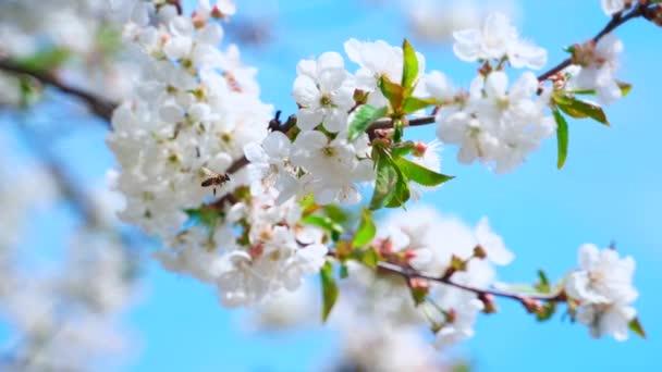 Gyönyörű virágzó ág a kék ég ellen. Elfoglalt méhecske repül a virágzó gyümölcsfa mellett tavasszal. Fehér virágok az ágon.