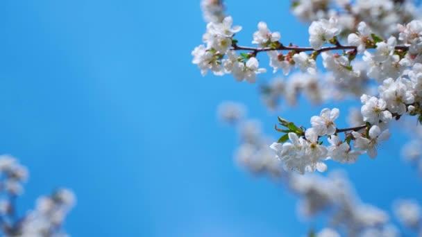 Kvetoucí větve pod modrou oblohou. Krásné bílé květy ovocného stromu v jasném jarním dni. Kopírovat prostor.