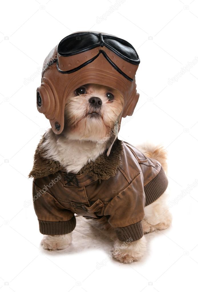 Un Disfraz Tzu Usando Pilotos Shih De x8wEtx4q
