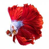 Fotografie Red Halfmoon Dragon fish