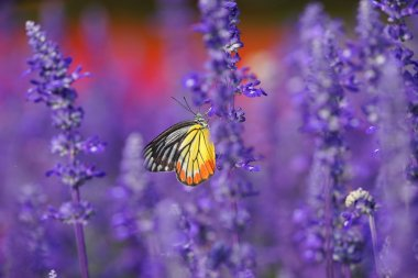 Monarch Butterfly on the Lavender in Garden