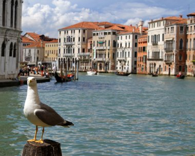 Seagull along the Grand canal in Venice with the beautiful Venet