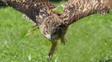 young OWL whit  bright eyes while the flight
