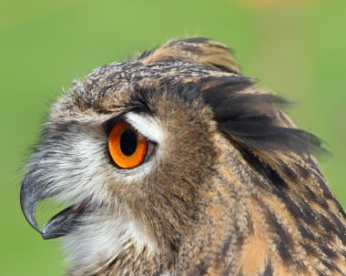 big OWL with huge orange eyes and the thick plumage