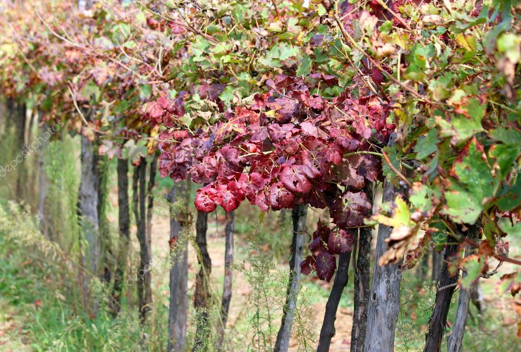 detail of vineyards in the countryside with the leaves in autumn