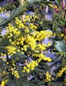 Fényképek Márciusban mimosa virágok sárga ága