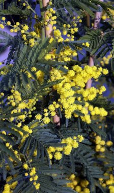 branch of mimosa flowers in March
