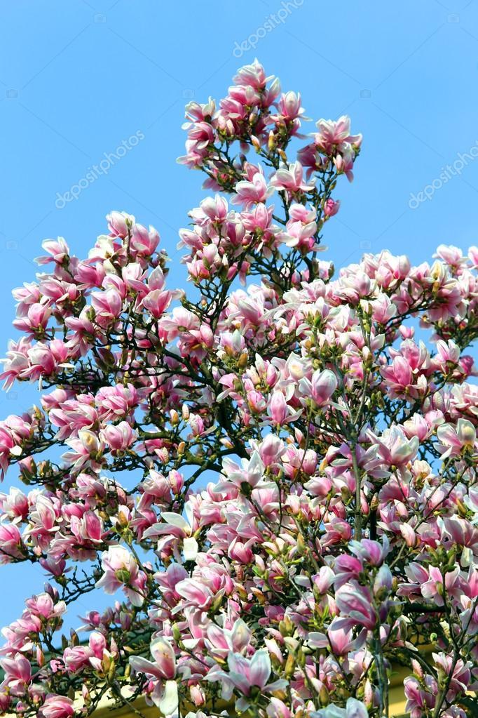 Fleur De Magnolia Rose Sur L Arbre Au Printemps Photographie