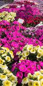 Pozadí, růžové Petúnie nebo potunia v velký skleník