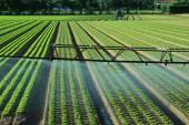 Fotografia Impianto di irrigazione automatico nel campo di lattuga