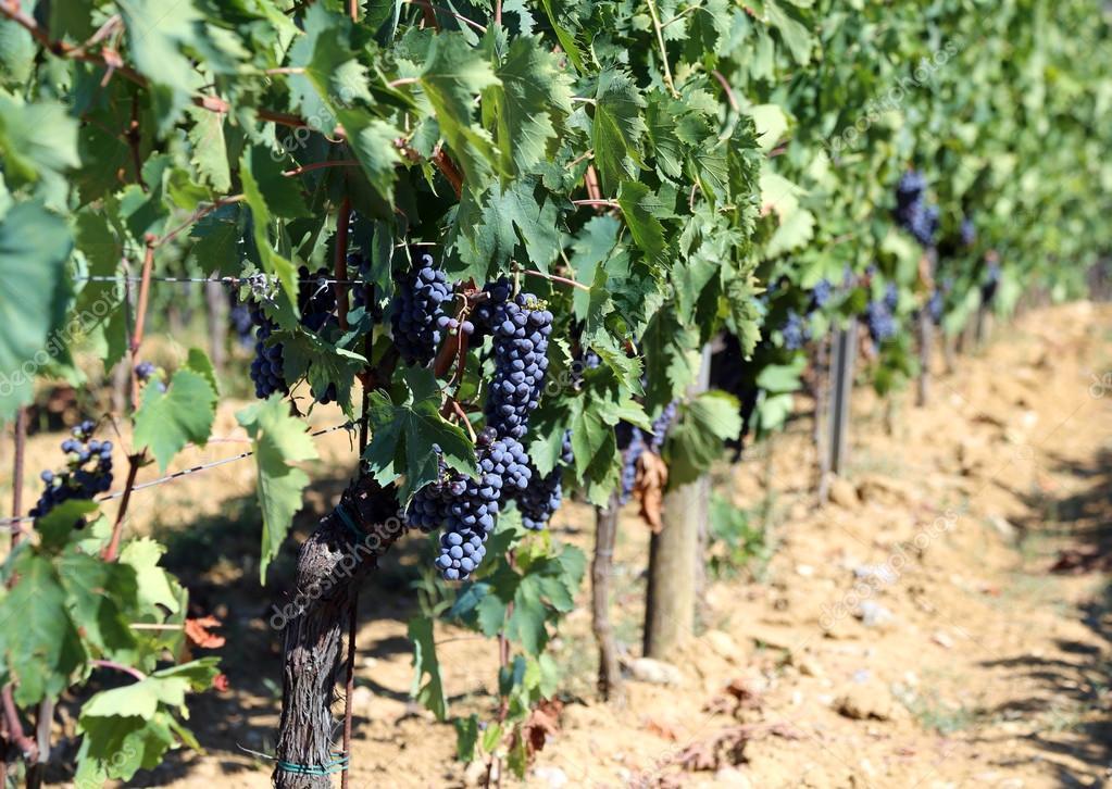 Ogromny Wiersz Winorośli Z Winogron Na Wsi Zdjęcie