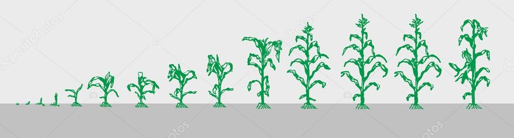 The stages of maize growth