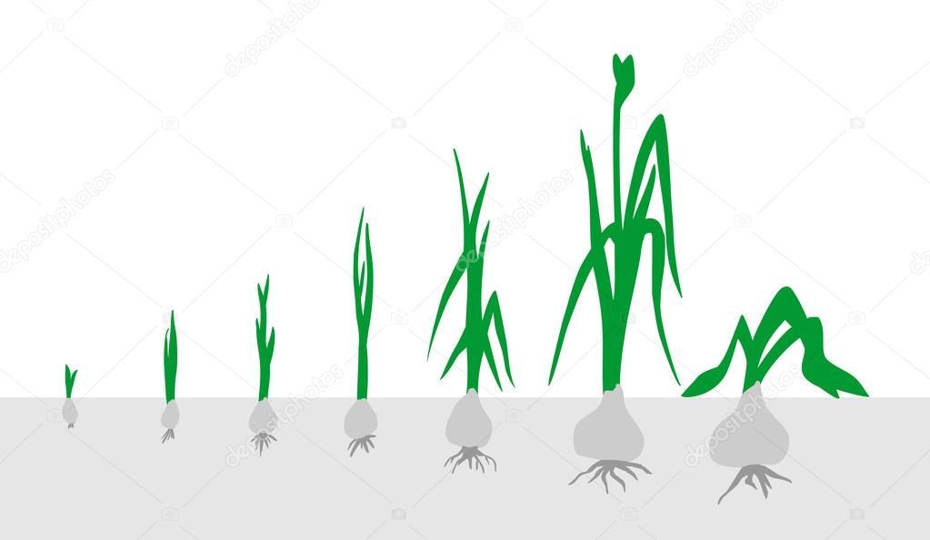 этапы роста лука в картинках всего часе езды
