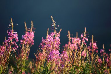 Willowherb at sunset
