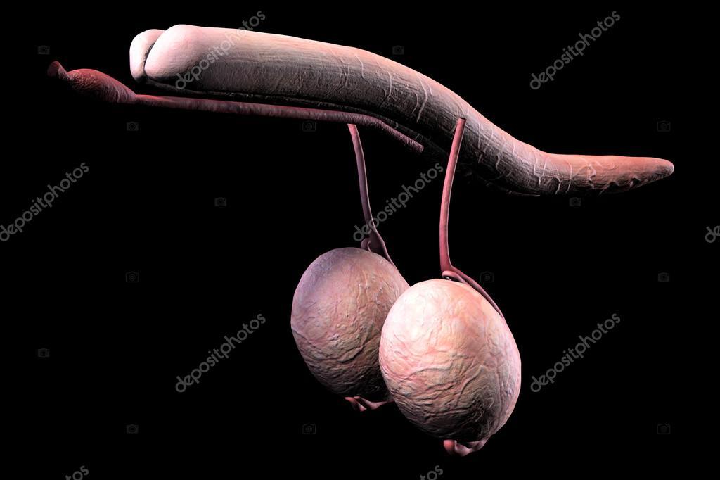 Male Human Penis 85