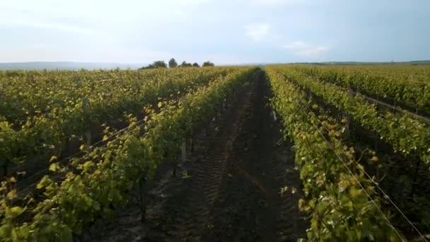 4K letecké video drone záběr barevné vinice krajiny v létě v časném ranním světle.