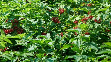 Lush bushes of ripe red berries - viburnum, the fruits have a sour taste.