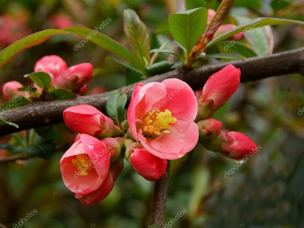 Pink Flowers Of Bush Thorny At Spring Stock Photo Manka 113495488