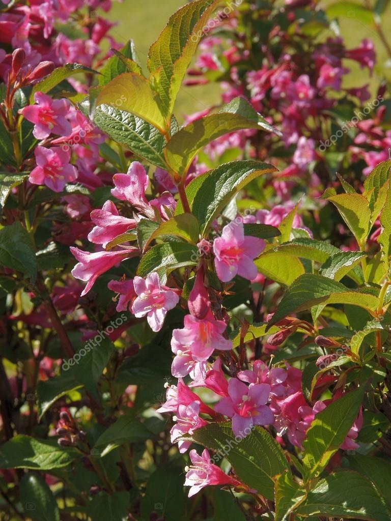 Weigela Ornamental Bush With Pink Flowers Stock Photo Manka