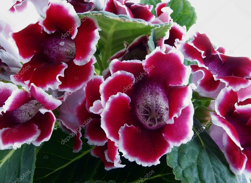 Fiori rossi e bianchi di gloxinia pianta in vaso foto for Pianta con fiori rossi