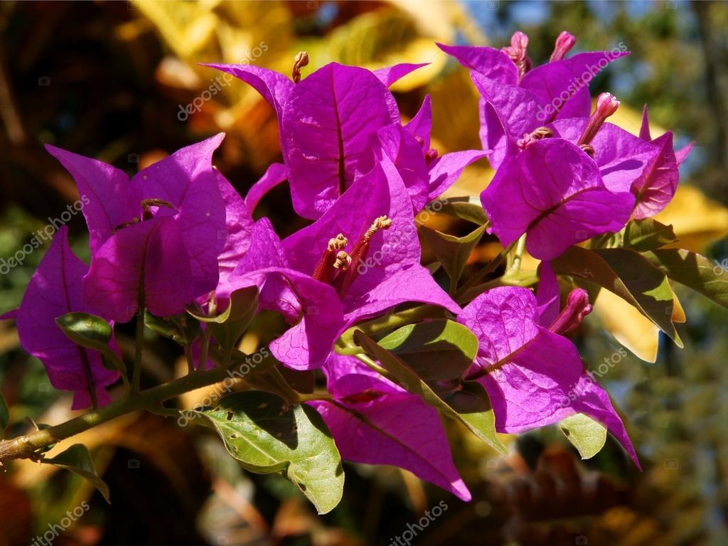Fiori viola di bouganvillea glabra pianta rampicante for Pianta fiori viola