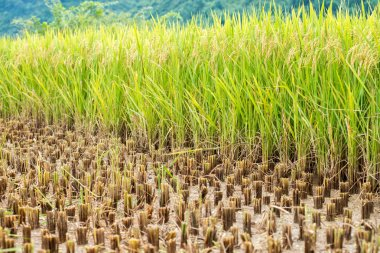 Paddy field partly harvested