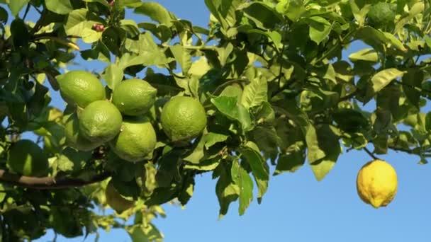 Zitronenfrüchte hautnah an den Zweigen gegen den blauen Himmel. Bewegung aus dem Wind.
