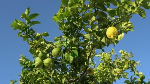 Zitronenbaum mit unreifen Zitronen und Blättern, die im Wind am blauen Himmel wehen.
