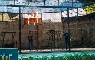 excursion in Samui Aquarium and Tiger Zoo, show tiger
