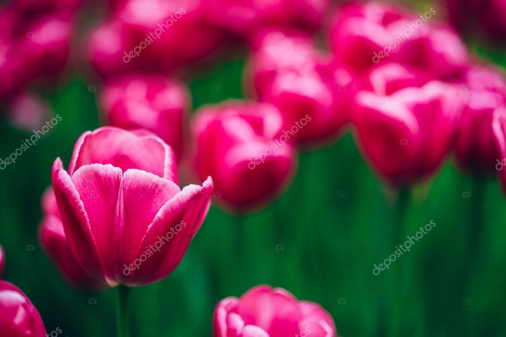 Tulipes rose fleurs dans la plate-bande de jardin printanier ...