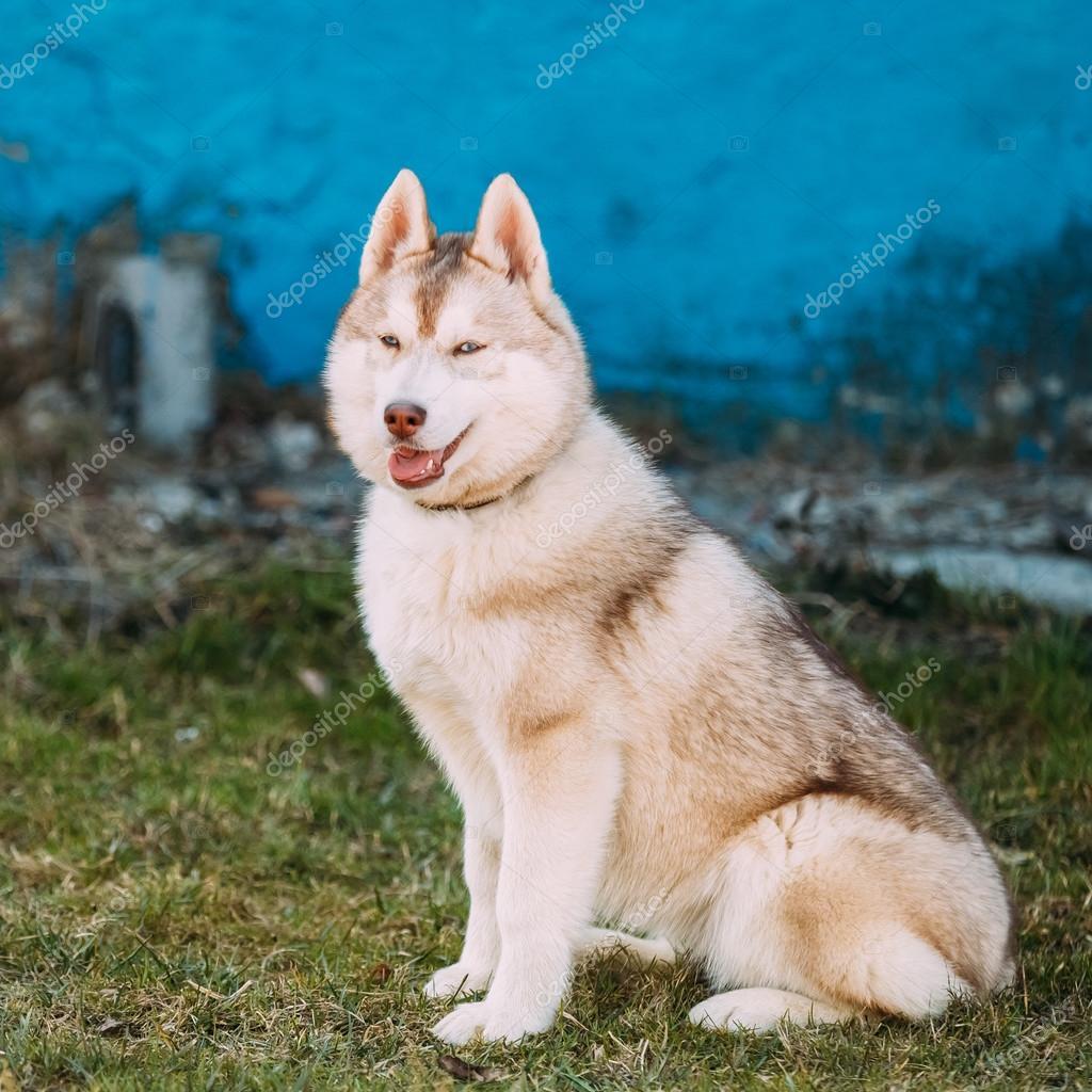 Bien connu jeune drôle chiot Husky blanc avec les yeux bleus jouer en plein  NN79