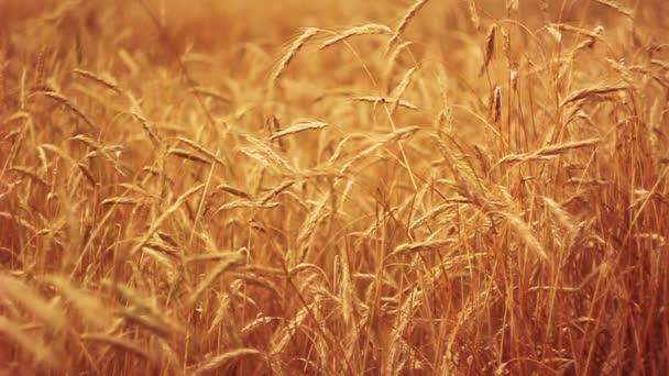 Yellow Wheat Ears Field Blowing In Wind