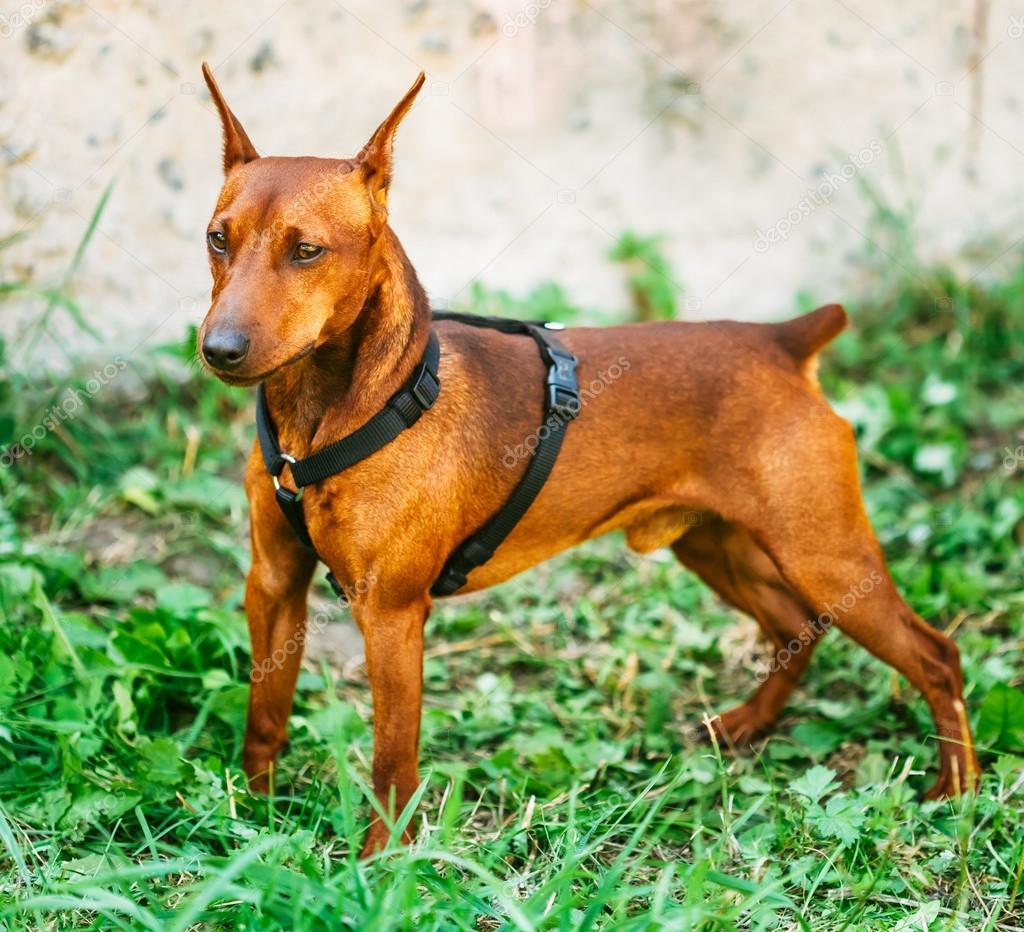 Brown Dog Miniature Pinscher Head
