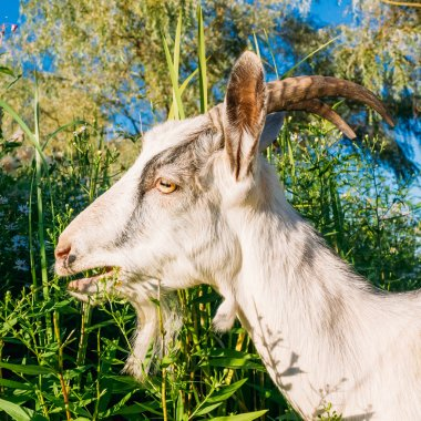 Young White Horned Goat Chewing