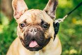 Fotografia cane bulldog francese